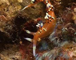 nahožábrý plž - Caloria indica - nudibranch