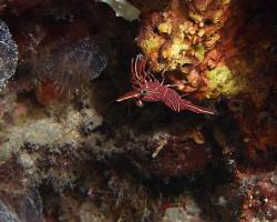 kreveta durbanská - Rhynchocinetes durbanensis - dancing shrimp