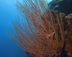rohovitka růžkatá - Ellisella ceratophyta - Soft Coral