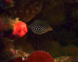 havýš pruhovaný - Ostracion solorensis - Striped Boxfish