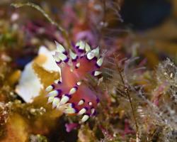 nahožábrý plž - Coryphellina exoptata - Desirable Flabellina