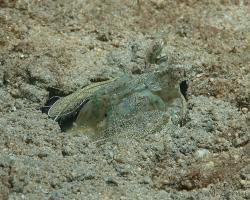 strašek - Lysiosquilla tredecimdentata - Golden mantis shrimp