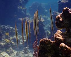 klunatka rýhovaná - Centriscus scutatus - Rigid Shrimpfish