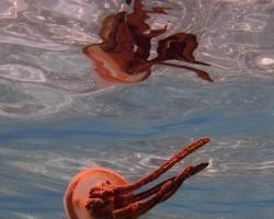 medůza - Thysanostoma thysanura - Cigar Jellyfish