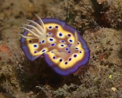 nahožábrý plž - Goniobranchus kuniei - nudibranch