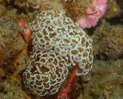 turbinatka zakotvená - Euphyllia ancora - Hammer Coral