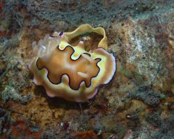 nahožábrý plž - Goniobranchus coi - nudibranch