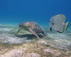 netopýrník obecný a kareta obrovská - Platax orbicularis a Chelonia mydas - circular spadefish and green sea turtle