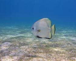 netopýrník obecný - Platax orbicularis - circular spadefish