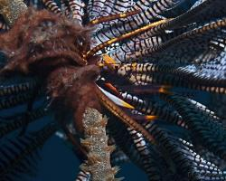 polokrab - Allogalathea babai - baba´scrinoid squat lobster