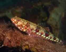 ještěrohlavec sličný - Saurida gracilis - Gracile lizardfish