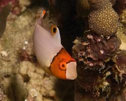ploskozubec dvoubarevný (mládě) - Cetoscarus bicolor - bicolor parrotfish Juvenile