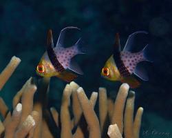 parmovec příčnopruhý - Sphaeramia nematoptera - pajama cardinalfish