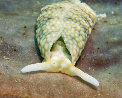 nahožábrý plž -  Plakobranchus ocellatus - sea slug