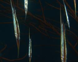klunatka rýhovaná - Centriscus scutatus - rigid shrimfish