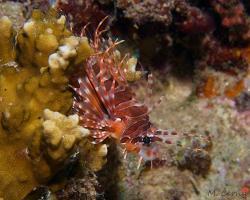 perutýn tykadlový - Pterois antennata - Broadbarred firefish
