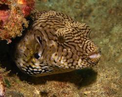 čtverzubec mappa - Arothron mappa - Map pufferfish