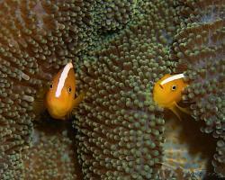klaun oranžový - Amphiprion sandaracinos - Orange Anemonefish