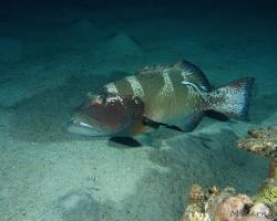 kanic uťatý - Plectropomus areolatus - squaretail coral grouper