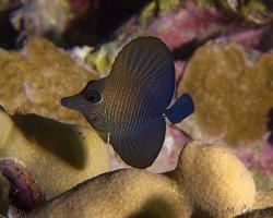 bodlok hnědý (mládě) - Zebrasoma scopas - Juvenile brown tang, twotone tang