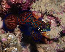 vřeténka mandarín - Synchiropus splendidus - mandarine fish
