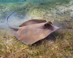 trnucha vanicorská - Neotrygon kuhlii - Blue-spotted stingray
