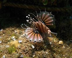perutýn zebra - Dendrochirus zebra - zebra lionfish