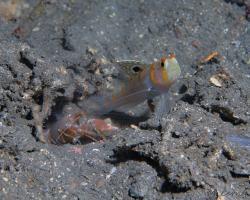 hlaváč Randallův a kreveta - Amblyeleotris randalli a Alpheus sp. - randall´s shrimpgoby and snapping shrimp