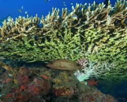 kanic štíhlý - Anyperodon leucogrammicus - slender grouper