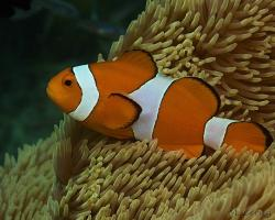 klaun očkatý - Amphiprion ocellaris - false clown anemonefish