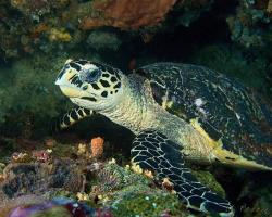 kareta pravá - Eretmochelys imbricata - Hawksbill Turtle
