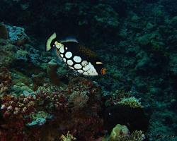 ostenec běloskvrnný - Balistoides conspicillum - clown triggerfish