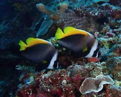 klipka černohrotá - Heniochus singularis - singular bannerfish