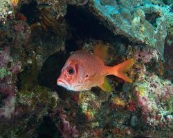 pruhatec velký - Sargocentron spiniferum - sabre squirrefish