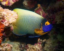 pomec modrohlavý - Pomacanthus xanthometopon - Yellow mask Angelfish
