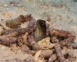 studnař - Opistognathus sp3 - Jawfish