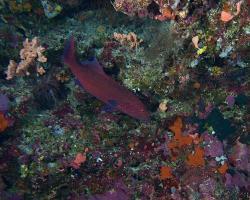 kanic modropásý - Plectropomus oligacanthus - highfin coral grouper