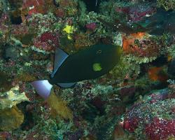 ostenec vdova - Melichthys vidua - pinktail triggerfish