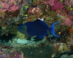 ostenec černý - Odonus niger - redtooth triggerfish
