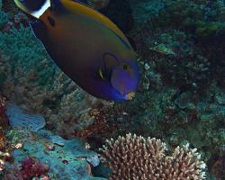 bodlok květinový - Acanthurus fowleri - blackspine surgeonfish