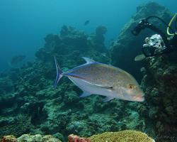 kranas modroploutvý - Caranx melampygus - bluefin trevally