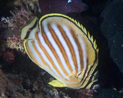klipka žlutopruhá - Chaetodon ornatissimus - ornate butterflyfish