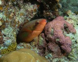 ploskozubec Forstenův - Scarus forsteni - bluepatch parrotfish