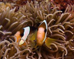 klaun Clarkův - Amphiprion clarkii - Clark's Anemonefish