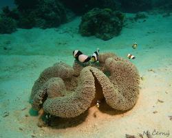 klaun sedlový a sasanka kobercová - Amphiprion polymnus a Stichodactyla haddoni - Saddleback Anemonefish and Haddon's Carpet Anemone