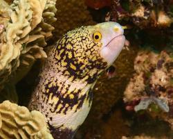 muréna hvězdovitá - Echidna nebulosa - snowflake moray