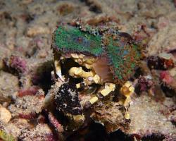 krab - Cyclocoeloma tuberculata - Decorator Spider Crab