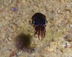 sepiola - Euprymna berryi - Berry's Bobtail Squid