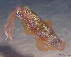 oliheň Lessonova - Sepioteuthis lessoniana - Bigfin Reef squid
