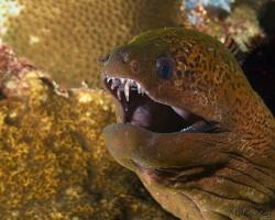muréna jávská - Gymnothora javanicus - giant moray